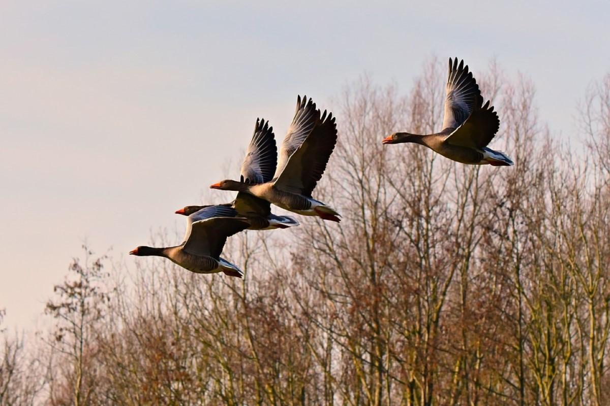 gansos em voo