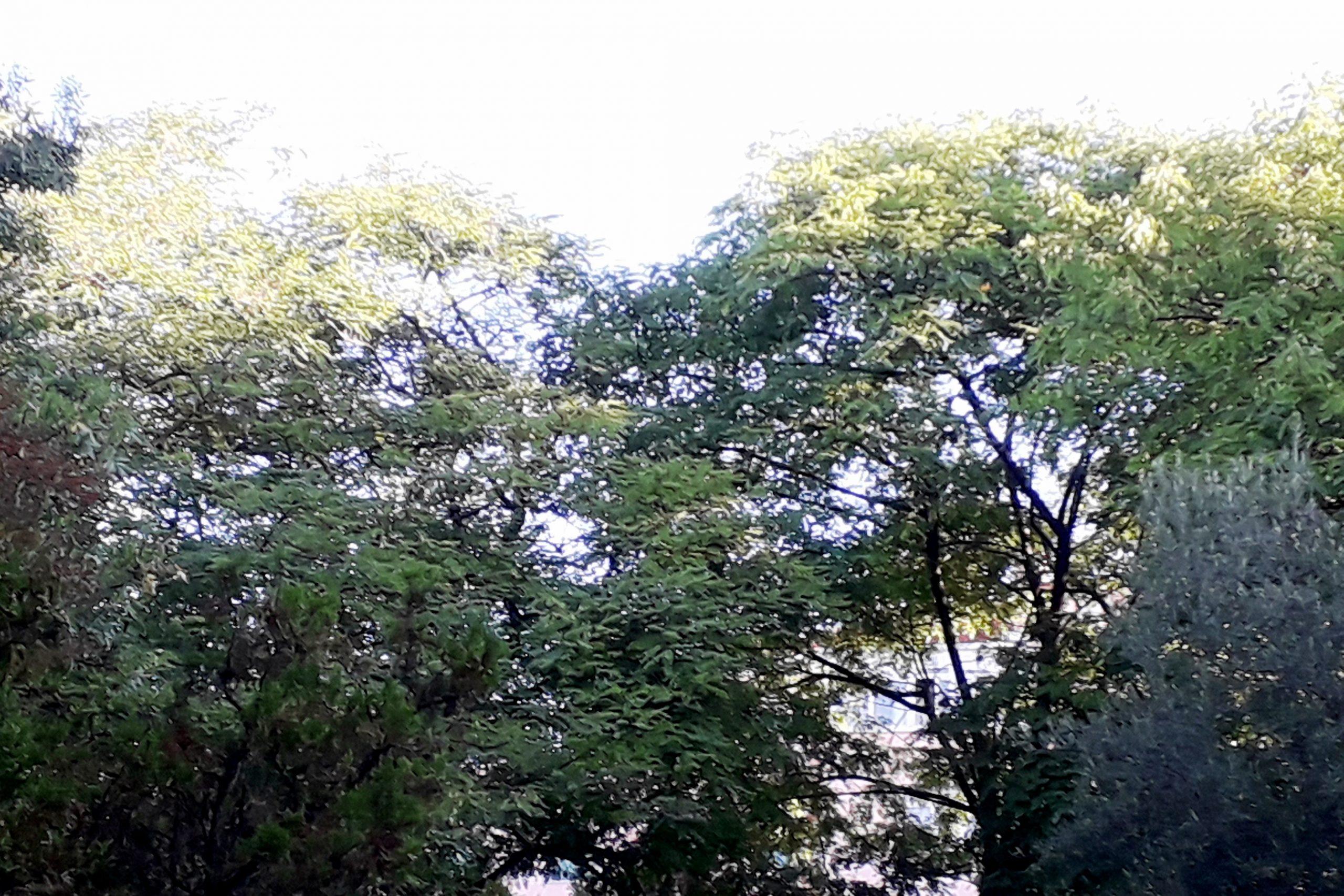 Copas de árvores