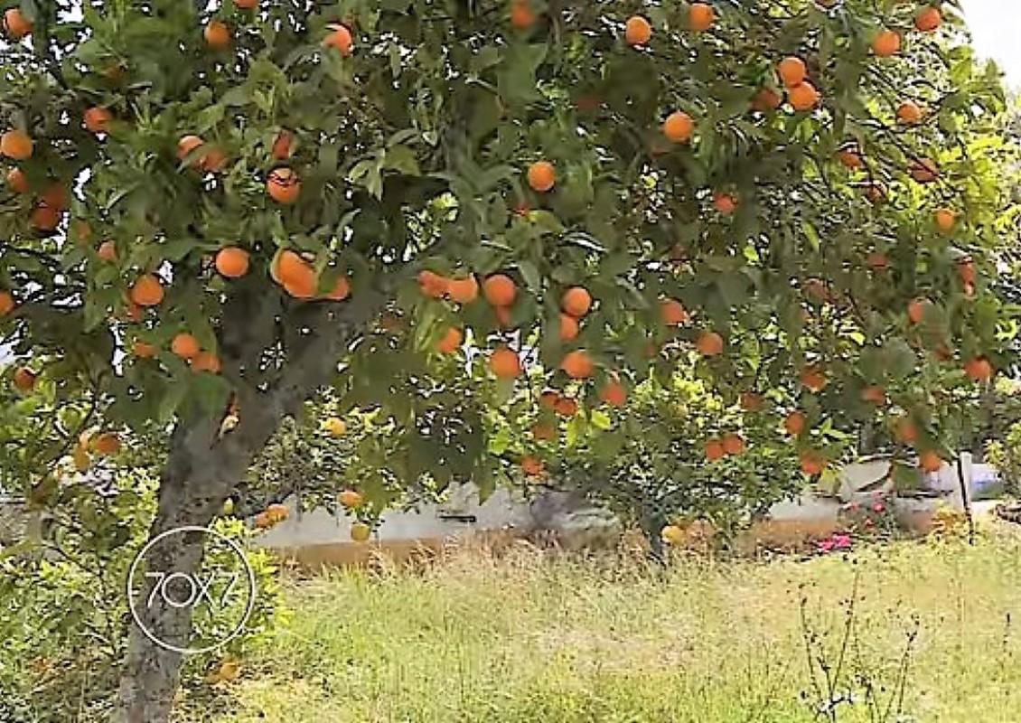 árvore de fruto