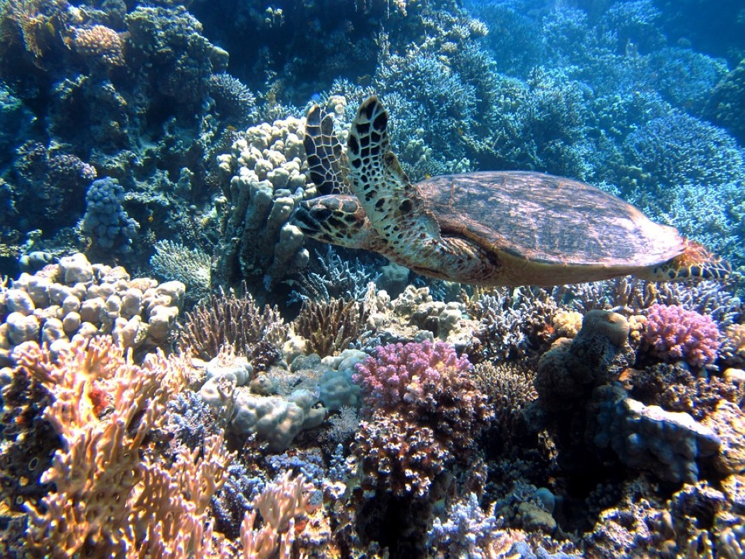 Corais e tartaruga