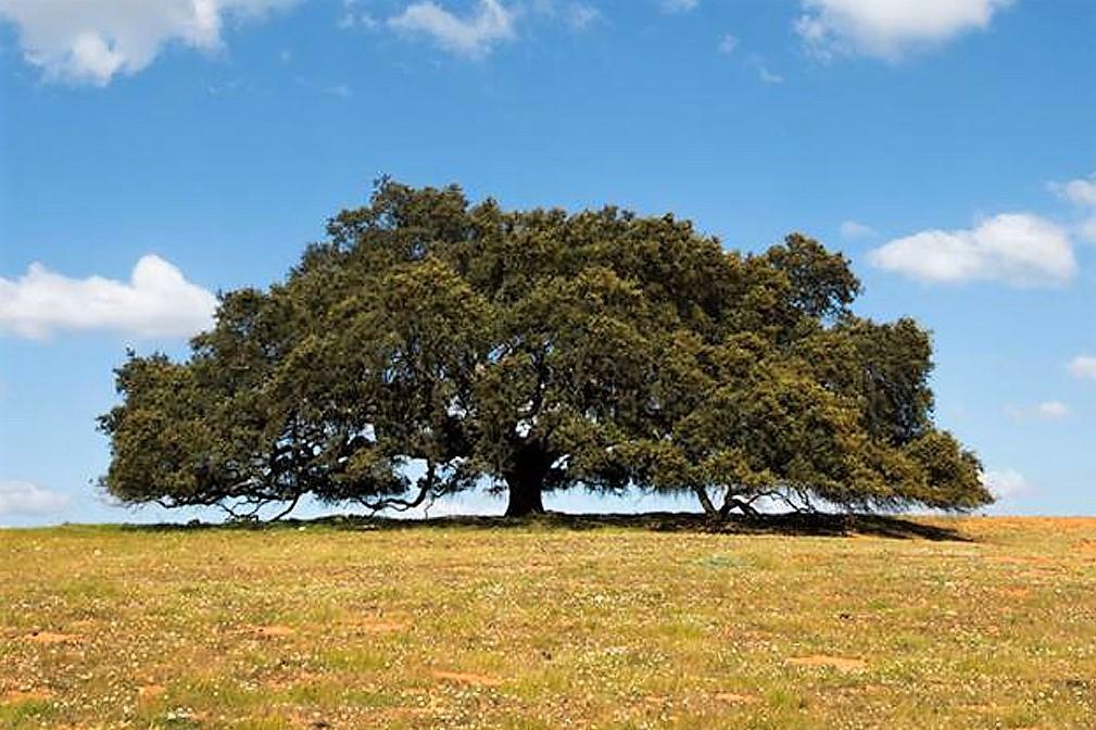 Azinheira de Mértola - Árvore do ano 2019