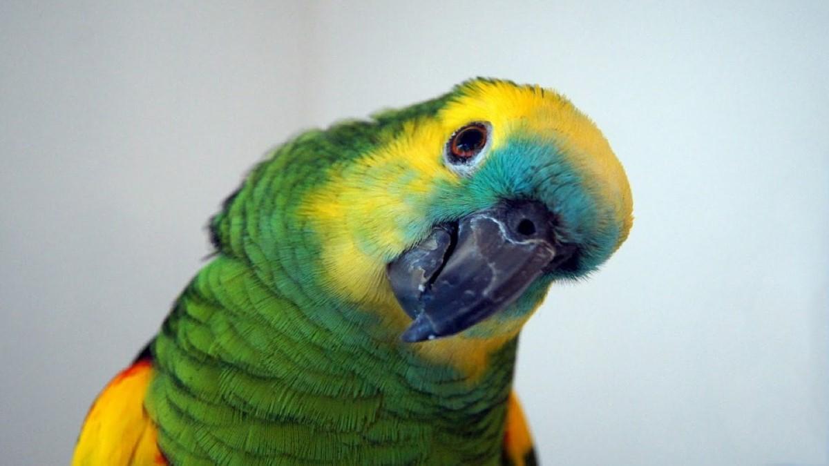 papagaio Amazónia