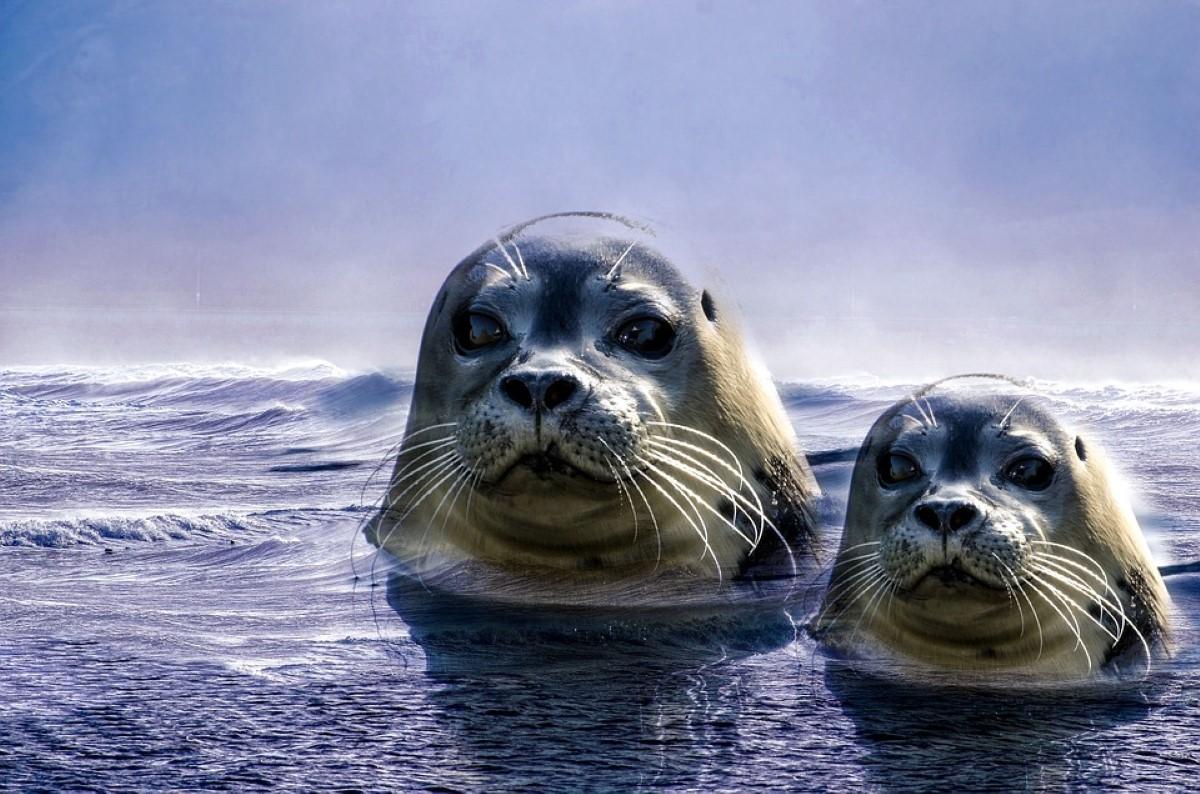 focas, mãe e cria